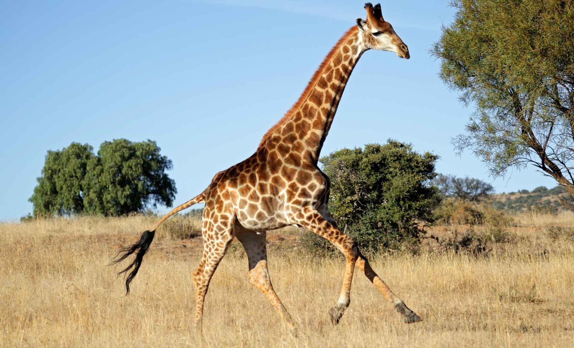 Жираф убегает - фото