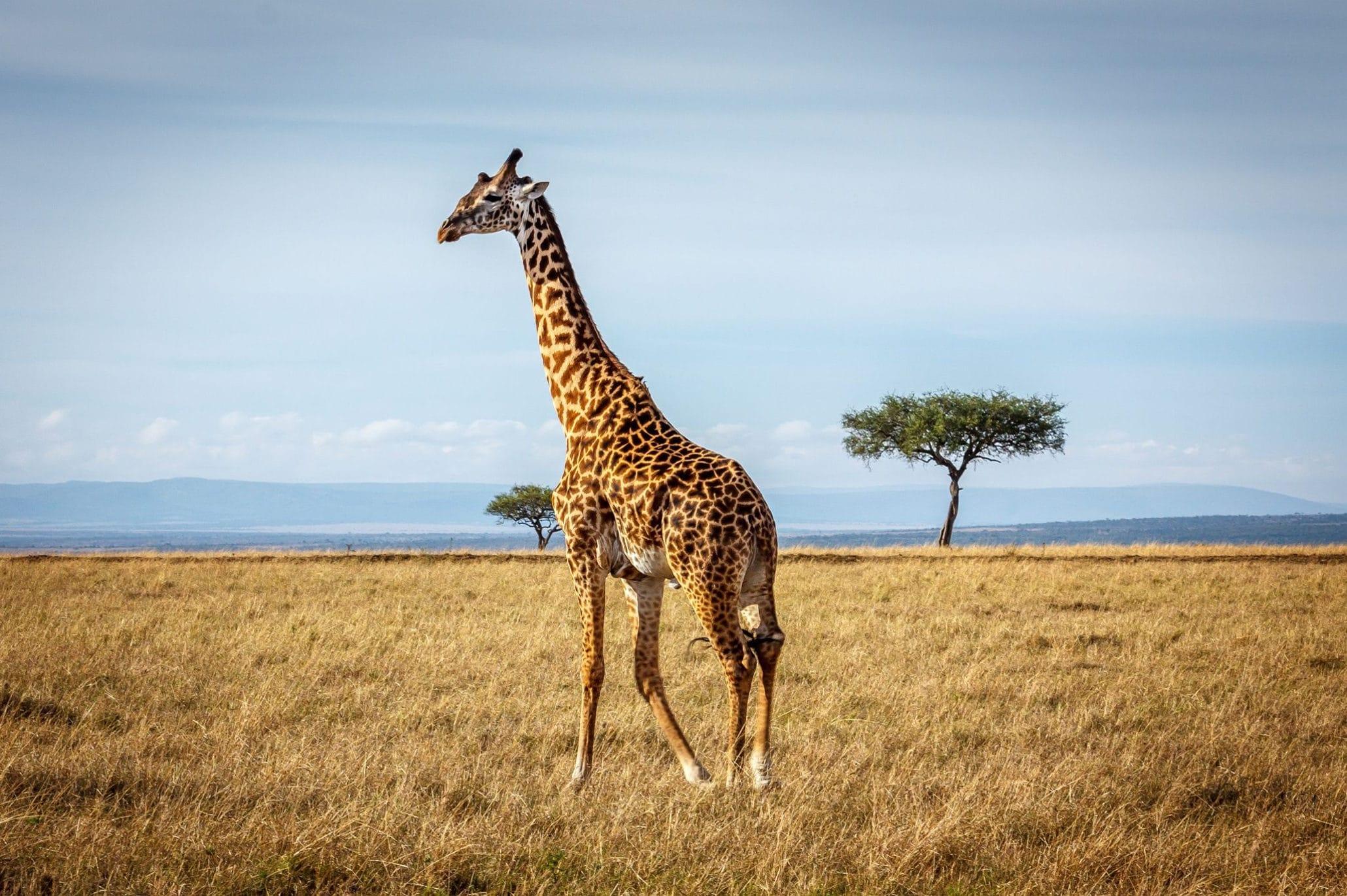 Жираф на воле - фото